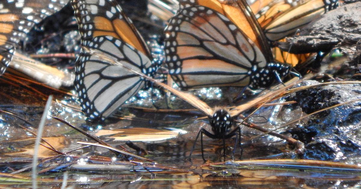 Banner - Monarch Butterflies