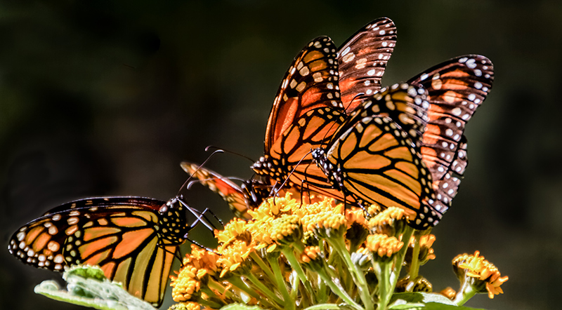 Monarch Butterfly and Pollinator Conservation