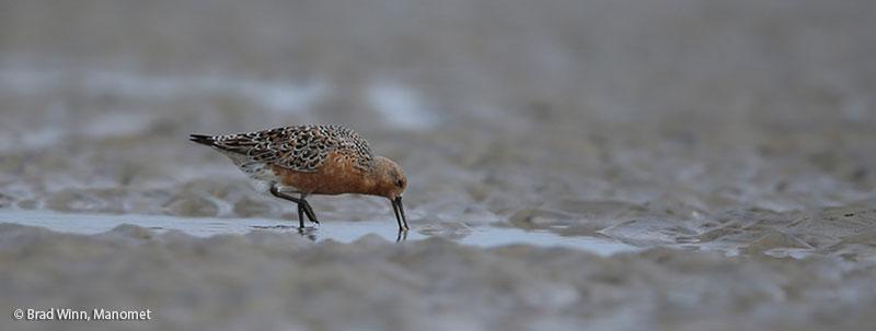 Conserving Shorebirds