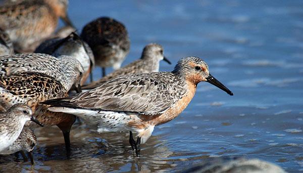 Arctic Migratory Birds