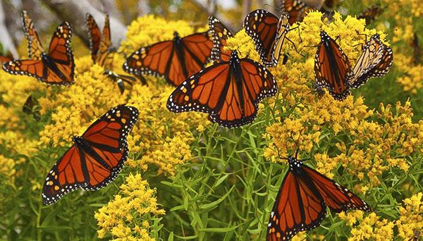 Monarch Butterfly Flyway