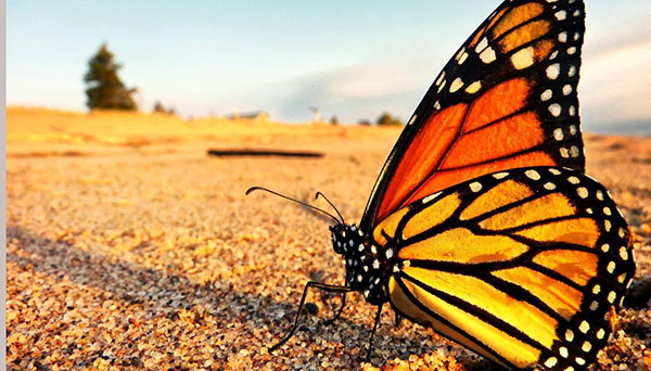 CEC Projects - Monarch Butterfly Conservation
