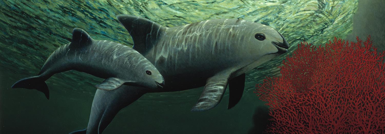 Illustration of a Vaquita