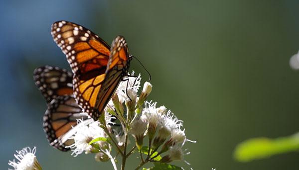 Monarch Buttlerfly