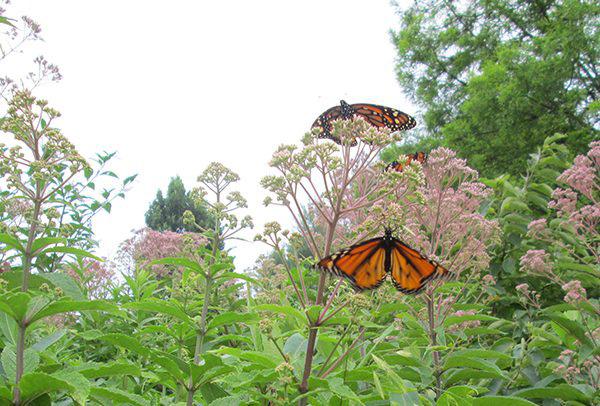 Urban garden - Key pollinators - NAPECA