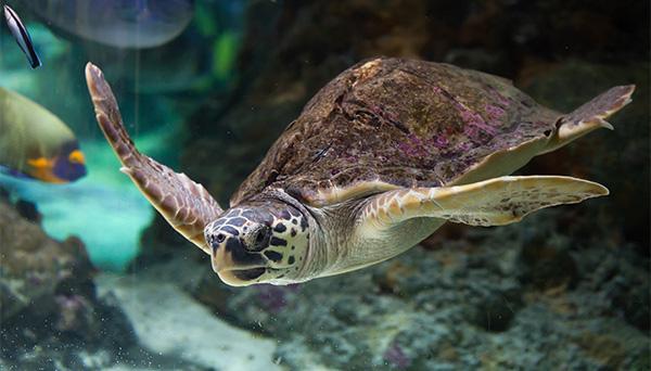 protection à l'égard de la tortue caouanne